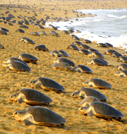 Mass nesting of Olive Ridley turtles begins in Odisha,Environment,Odisha