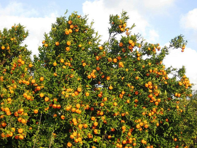 Orange tree , Nagpur, Orange city , India famous nickname of city , khichdi