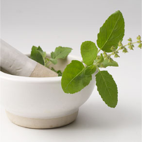 Therapeutic,Tulsi PlantMedicinal value of Tulsi, ayurveda, medicines, commercial, economy