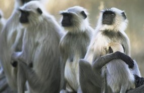 India-Bangladesh join hands to protect spectacled Langur