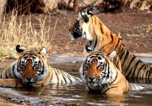 India's Tigers population increases by 30% since 2011