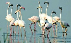 khichdi, blog,current affairs, general,knowledge, ias, ips, civil, services, CSAT,pre, ies, general studies, GS, mains, competitive, entrance, bank, PO, IBPS, 3 day Flamingo Festival begins near Pulicat Lake in Nellore district of Andhra Pradesh