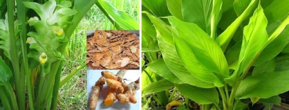 Golden Treasure of Ayurveda : Organic Cultivation of Turmeric