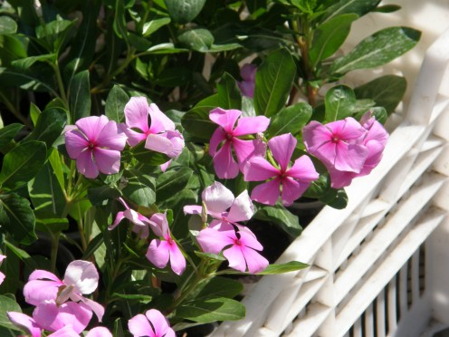 Sadabahar, Varamasi, Sadaphuli, Agriculture, Madagascar, Vinca rosea, Periwinkle, Catharanthus roseus khichdi, blog,farming, agriculture, organic, cultivation, sadabahar, sadaphuli, rose, catheranthus, anti diabetes, anticancer, herbal, drug,