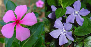 Sadabahar, Varamasi, Sadaphuli, Agriculture, Madagascar, Vinca rosea, Periwinkle, Catharanthus roseus khichdi, blog,farming, agriculture, organic, cultivation, sadabahar, sadaphuli, rose, catheranthus, anti diabetes, anticancer, herbal, drug, , A Plant in Neighborhood with Anti-Diabetic & Anti-Cancer Properties- PERIWINKLE