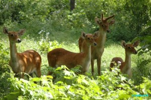Critically endangered Sangai deer found in Manipur to be translocated,  khichdi, blog, general,knowledge, ias, ips, civil, services, CSAT,pre, ies, general studies, GS, mains, competitive, entrance, bank, PO, IBPS, current, affairs, may, 2015, blog, study, material, CSAT  Current Affairs, 3rd june 2015, 4th June 2015, 5th june 2015, 6th June 2015,7th june 2015, 8th june 2015, 9th june 2015,10th june 2015, 17th june 2015, 18th june 2015, 29th june 2015, 28th june 2015  World Anti-Doping Agency, Anti-Doping Rule Violations Report, WADA, Institute for Economics and Peace, Global Peace Index , SYdney, Australia, Bureau of Indian Standards Bill, Manipur State Forest Department, International Union for Conservation of Nature, IUCN, Sangai deer, Manipur, Keibul Lamjao National Park, KLNP, Loktak Lake, Voting age, Japan, Boston Consulting Group, BCG, Europe, Asia Pacific, North America, Narendra Modi, Solar Power Projects , Cabinet Committee on Economic Affairs, CCEA, Jawaharlal Nehru National Solar Mission, JNNSM, Union Cabinet, Pranab Mukherjee, Negotiable Instruments (Amendment) Bill, Union government, California, US, Kirk Kerkorian,Las Vegas
