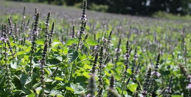 Organic Cultivation of Holy Basil in India