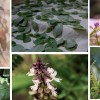 Tulsi || The Sacred plant of India